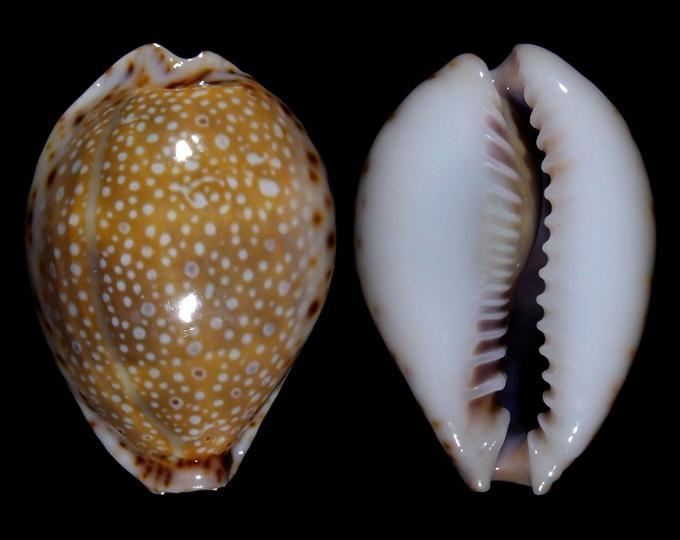 Image of Naria lamarckii f. fainzilberi
