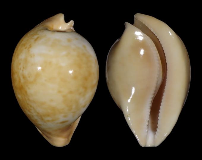 Picture of Umbilia armeniaca armeniaca