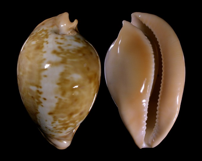Image of Umbilia armeniaca armeniaca