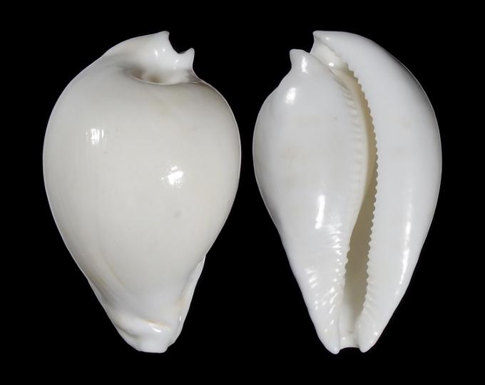 Image of Umbilia hesitata f. howelli