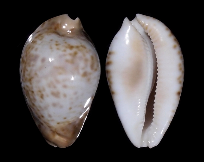 Image of Umbilia hesitata f. beddomei