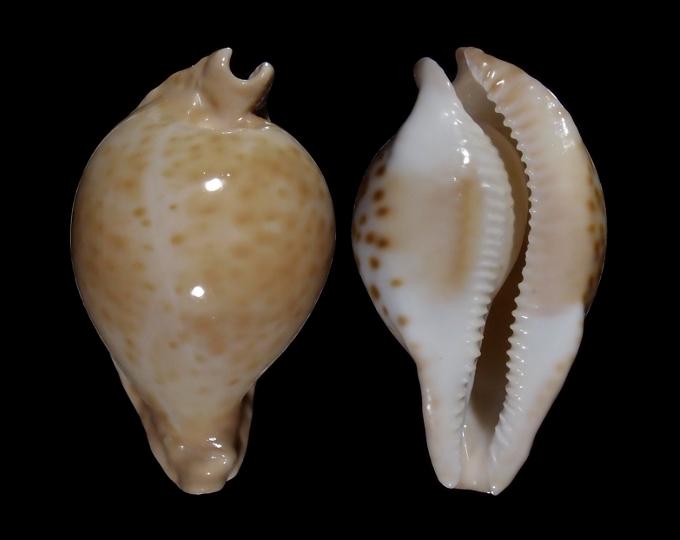 Image of Umbilia capricornica capricornica