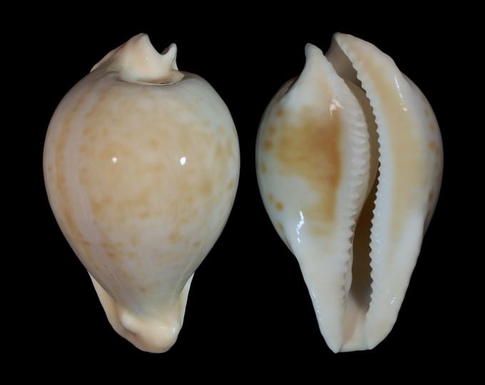 Picture of Umbilia capricornica capricornica