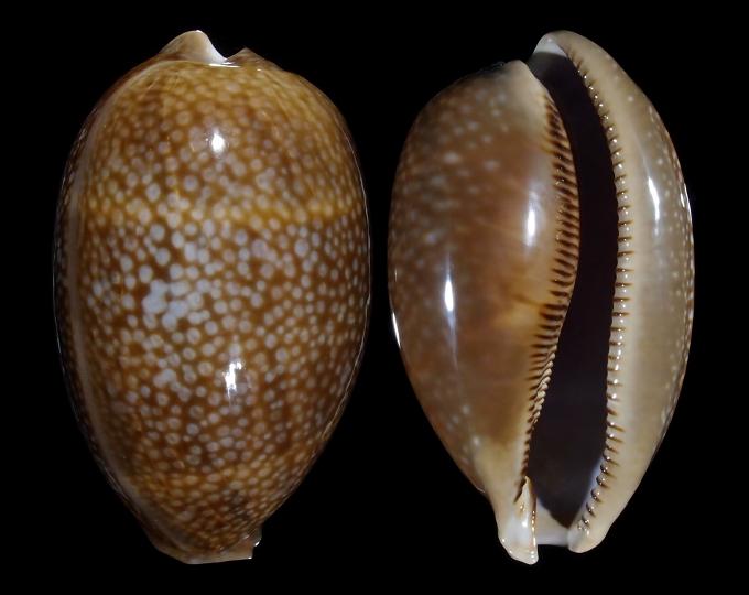 Image of Macrocypraea cervus cervus