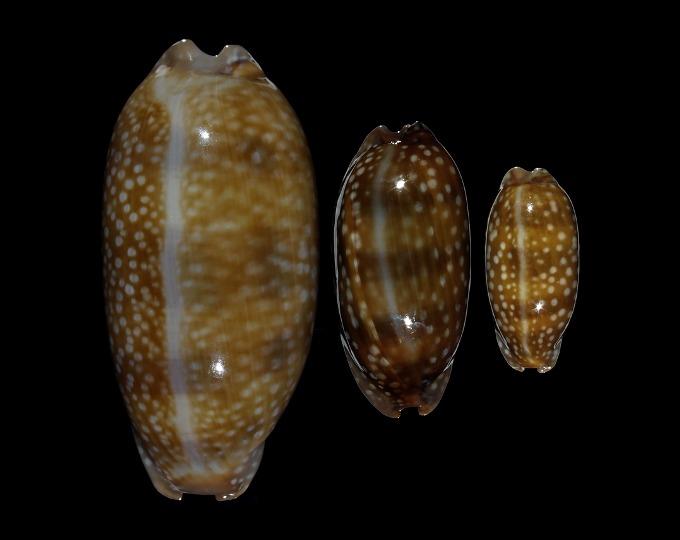 Image of Macrocypraea cervinetta cervinetta