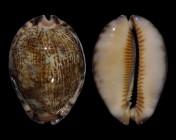 Mauritia arabica asiatica f. gibba