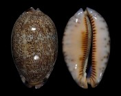 Mauritia asiatica f. empressae