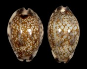 Mauritia histrio f. elongata