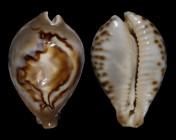 Barycypraea fultoni amorimi f. massieri