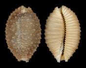 Nucleolaria granulata granulata