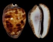 Zoila venusta episema f. sorrentensis