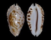 Zoila marginata marginata f. consueta