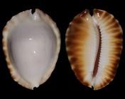 Zoila ketyana f. hypermarginata