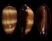 Talparia talpa f. imperialis