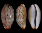 Luria isabellamexicana