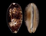 Chelycypraea testudinaria