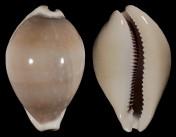 Lyncina camelopardalis f. sharmiensis