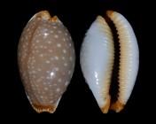 Staphylaea limacina interstincta f. clarissa