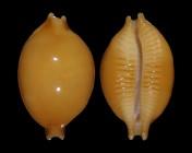Pustularia globulus globulus