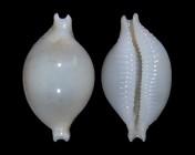 Pustularia cicercula tuamotensis