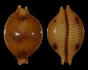 Pustularia bistrinotata bistrinotata f. samarensis