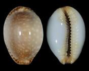 Staphylaea semiplota f. annae