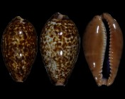 Pseudozonaria annettae