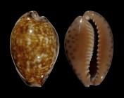 Pseudozonaria aequinoctialis