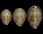 Pseudozonaria robertsi