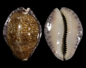 Pseudozonaria arabicula