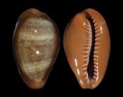 Zonaria pyrum insularum