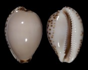 Notocypraea angustata