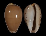 Notocypraea comptonii f. trenberthae