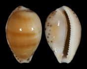 Notocypraea comptonii f. mayi