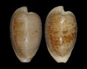 Cypraeovula capensis capensis