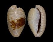 Cypraeovula capensis gonubiensis