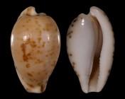 Cypraeovula edentula nahoonensis f. dentata