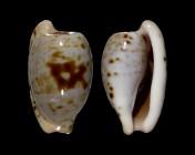 Cypraeovula alfredensis alfredensis