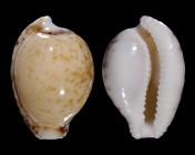Cypraeovula algoensis algoensis