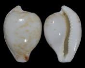 Cypraeovula algoensis algoensis f. bettyensis