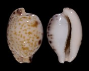 Cypraeovula algoensis permarginata f. sanfrancisca