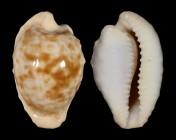 Cypraeovula coronata coronata