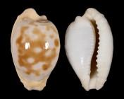 Cypraeovula coronata debruini