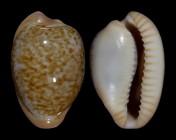 Cypraeovula fuscorubra fuscorubra