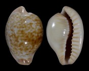 Cypraeovula fuscorubra gondwanalandensis