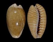 Cypraeovula fuscodentata fuscodentata