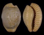 Cypraeovula fuscodentata sphaerica