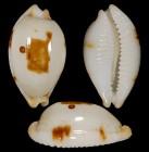 Bistolida diauges salaryensis f. fulva