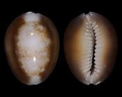 Monetaria caputserpentis f. argentata