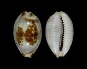 Bistolida erythraeensis